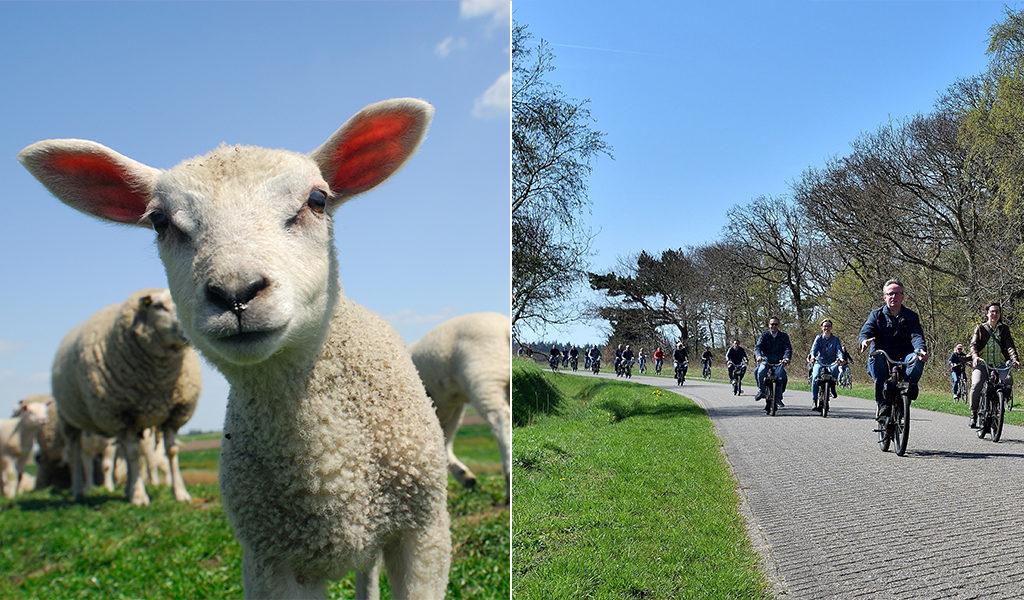 Lammetjestocht met solex op Texel