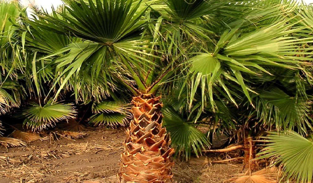 Korting Mexicaanse waaierpalm XL Washington