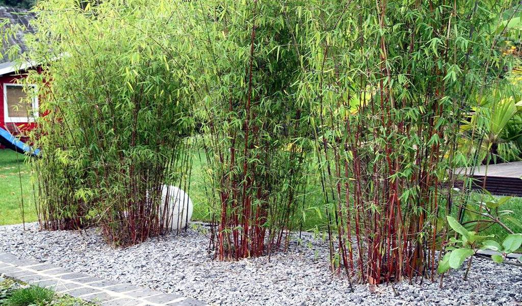 Korting Set van 3 rode bamboe struiken