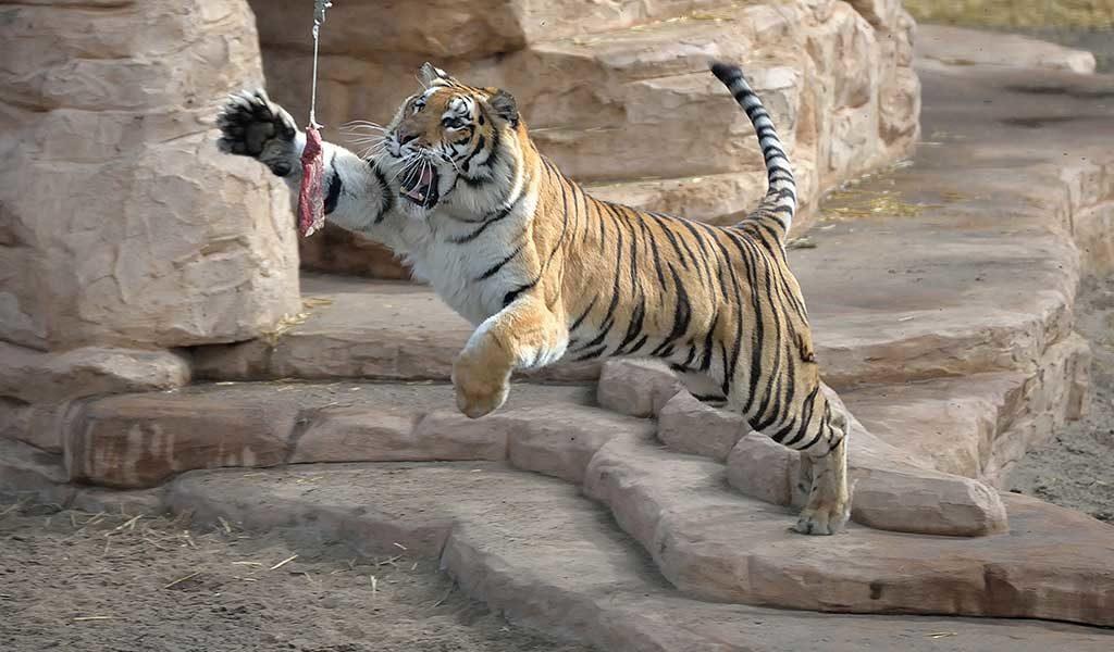 Unieke tijgerworkshop