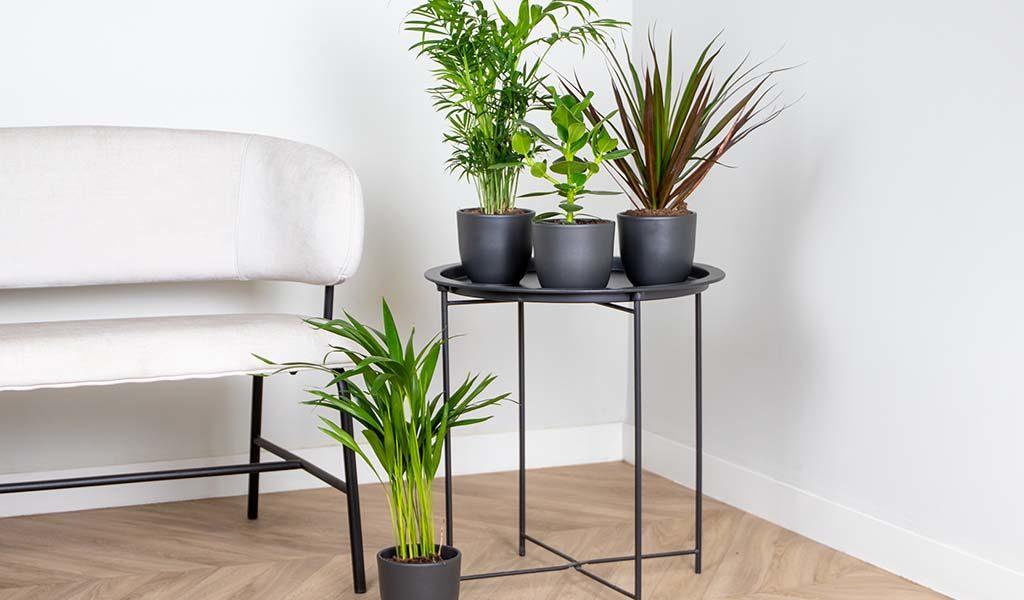 Mix van 4 luchtzuiverende kamerplanten